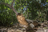 A Monitor Lizard, Varanus Palawanensis, Flicks its Forked Tongue Towards the Camera Photographic Print by Robin Moore