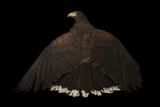 A Western Harris' Hawk, Parabuteo Unicinctus Superior, at the Living Desert in Palm Desert, Califor Photographic Print by Joel Sartore
