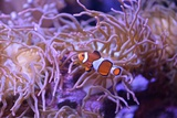 A Clown Fish Swims Among Anemones Photographic Print by Kike Calvo