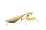 Close Up Portrait of a Female European or Praying Mantis, Mantis Religiosa Photographic Print by Joe Petersburger