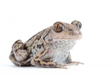 Close Up Portrait of an European Common Spadefoot or Garlic Toad, Pelobates Fuscus Photographic Print by Joe Petersburger