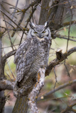 Portrait of a Great Horned Owl, Bubo Virginianus, Perched on a Tree Branch Photographic Print by Robbie George