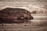 A Wading Hippo in Ruaha National Park, Tanzania Photographic Print by Robin Moore