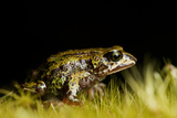 Altiphrynoides Malcolmi, an Endangered Frog Species in the Bale Mountains of Ethiopia Photographic Print by Robin Moore