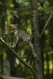 A Captive Wildcat, Felis Sylvestris, and Her Kitten, Climbing a Tree in an Enclosure Fotografisk tryk af Norbert Rosing