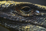 Close Up of a Spiny-Tailed Lizard at the Miami Metro Zoo Photographic Print by Raul Touzon