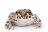 Close Up Portrait of a Green Toad, Bufo Viridis Photographic Print by Joe Petersburger
