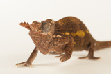 A Male Mt. Kilimanjaro Two-Horned Chameleon, Kinyongia Tavetana, from the Omaha Zoo Photographic Print by Joel Sartore