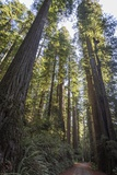 Giant Redwood Trees Tower over a Dirt Road in Stout Grove Photographic Print by Macduff Everton