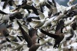A Flock of Snow Geese and a Pair of Canada Geese Taking Flight Photographic Print by Robbie George