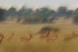 A Small Herd of Impalas on the Move in the Serengeti Plains Photographic Print by Michael Nichols