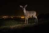 A Remote Camera Captures a Mule Deer in Griffith Park Photographic Print by Steve Winter