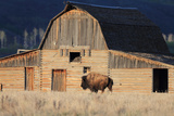 An American Bison, Bison Bison, Grazes in Front of a Historic Barn Photographic Print by Robbie George