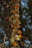 Monarch Butterflies Clustered on an Oyamel Fir Tree High in the Forests of Michoacan, Mexico Photographic Print by Medford Taylor
