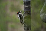 A Downy Woodpecker, Picoides Pubescens, Eats from a Bird Feeder in Lincoln, Nebraska Photographic Print by Joel Sartore