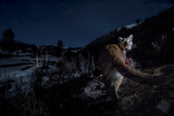 The Flash of a Remote Camera Diverts a Wyoming Cougar from its Kill Photographic Print by Steve Winter
