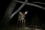 Portrait of a White Tailed Deer Doe, Odocoileus Virginianus, Caught in a Camera Trap at Night Photographic Print by Michael Forsberg
