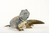 An Ornate Mastigure, Uromastyx Ornata, at the Living Desert in Palm Desert, California Photographic Print by Joel Sartore