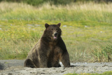 Portrait of a Grizzly Bear, Ursus Arctos, Sitting Photographic Print by Bob Smith