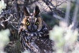 Portrait of a Long-Eared Owl, Asio Otus, Perched in a Tree Photographic Print by Robbie George