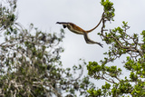 A Zanzibar Red Colobus Leaping Between Canopy Trees in a Coral Rag Forest Photographic Print by Jason Edwards