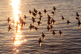 A Flock of Least Sandpipers, Calidris Minutilla, Taking Flight over Sun-Lit Waters Photographic Print by Robbie George