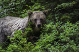 Portrait of a Grizzly Bear, Ursus Arctos, Foraging Among Shrubs Photographic Print by Jonathan Irish