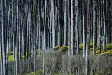 Rain Soaked Rimu Trees at Bruce Bay Photographic Print by Michael Melford