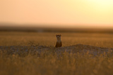 A Black-Footed Ferret, Mustela Nigripes, at the Entrance of its Den at Sunset Photographic Print by Michael Forsberg