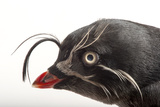 A Whiskered Auklet, Aethia Pygmaea, at the Cincinnati Zoo Photographic Print by Joel Sartore