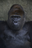 Portrait of a Western Lowland Gorilla at the Miami Metro Zoo Photographic Print by Raul Touzon
