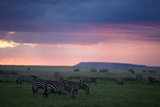 A Herd of Burchell's Zebra Graze in the Plains of the Serengeti Photographic Print by Michael Nichols