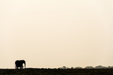 The Silhouette of an African Elephant Walking across the Horizon at Sunset Fotografisk tryk af Jason Edwards