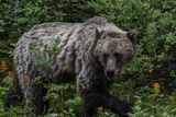 Portrait of a Grizzly Bear, Ursus Arctos, Walking Through Shrubs and Wildflowers Photographic Print by Jonathan Irish