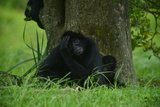 A Spider Monkey Rests at the Base of a Tree at the Miami Metro Zoo Photographic Print by Raul Touzon