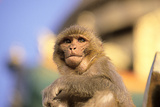 Temple Monkey on Guard at Swayambunath Buddhist Temple Photographic Print by David Edwards
