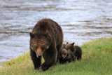 A Mother Grizzly Bear, Ursus Arctos, Walking with Her Cubs Alongside a River Photographic Print by Robbie George