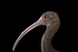 A White-Faced Ibis, Plegadis Chihi, at the Living Desert in Palm Desert, California Photographic Print by Joel Sartore