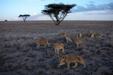 Lionesses and Cubs of the Vumbi Pride Rest in the Serengeti Plains Photographic Print by Michael Nichols