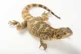 A Short-Toed Rock Agama, Laudakia Stellio Brachydactyla, at the Indianapolis Zoo Photographic Print by Joel Sartore