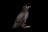 A Whiskered Auklet, Aethia Pygmaea, at the Cincinnati Zoo Papier Photo par Joel Sartore