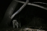 Night Time Portrait of a Raccoon, Procyon Lotor, under a Tree Photographic Print by Michael Forsberg