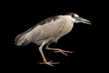 A Black-Crowned Night Heron, Nycticorax Nycticorax, at the Living Desert in Palm Desert, California Photographic Print by Joel Sartore