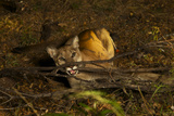 A Cougar, Tranquilized by Biologists, to Be Fitted with a Radio Collar Photographic Print by Steve Winter