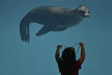 A California Sealion, Zalophus Californianus, Looks at a Little Girl Holding Up a Bead Necklace Photographic Print by Kike Calvo