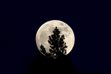 An Evergreen Tree Silhouetted by a Full Moon Photographic Print by Robbie George