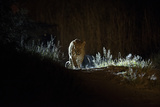 A Leopard, Panthera Pardus, Walking at Night Photographic Print by Roy Toft