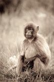 A Female Gelada Baboon, Theropithecus Gelada, on the Guassa Plateau Photographic Print by Robin Moore