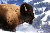 An American Bison, Bison Bison, Walking Through Deep Snow Photographic Print by Robbie George