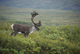 Portrait of a Male Caribou, Rangifer Tarandus, in a Scenic Landscape Photographic Print by Bob Smith